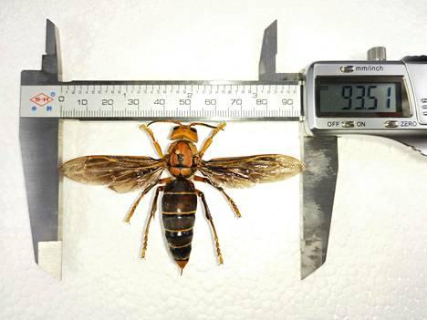 Kuvan kiinanherhiläinen on poikkeuksellisen kookas, sillä sen pituuden kerrotaan olevan yli kuusi senttiä ja siipien kärkivälin 9,35 senttiä.