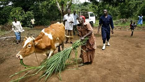 Kuvan ugandalainen Teresa Namirembe sai lehmän World Visionin kautta. Matti Kääriäisen mukaan osa kehitysavusta katoaa kuitenkin korruption syövereihin.