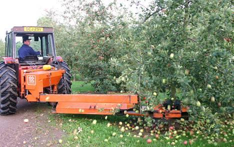 Omenia tärisytetään puista Hertfordshiressä Englannissa.