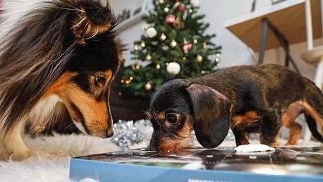 Doris, Mauna, Ronja ja Coco testasivat koirien joulukalenterit – yksi oli lähes täydellisen syötävä!