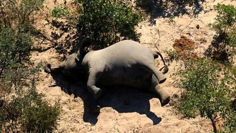 Botswanassa on ollut norsujen salametsästystä, mutta kuolleiden norsujen syöksyhampaat ovat paikallaan.