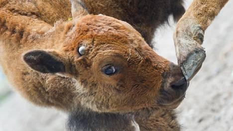 Turistit eivät huomioineet, että biisoninvasikkakin voi olla vaarallinen villieläin. Kuvan biisoni ei liity juttuun.