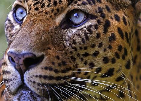 Minäkö rosvo? Kuvituskuva, koska peliyhtiö ei vielä halunnut näyttää, millainen leopardin kuvatus pelaajien rahoja vanhan koulukunnan rosvojen sijasta alkaa vaania.