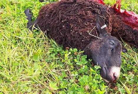 Iso-Junnolla on mustia suomenlampaita, jotka ovat jossain määrin harvinaisia. –Viime syksynäkin susihyökkäyksen jälkeen korvaavia eläimiä ei saanut mistään, Iso-Junno kertoo.