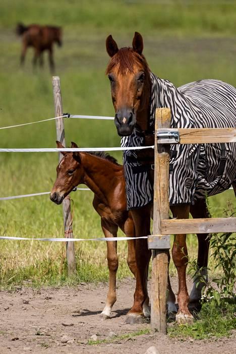 Hevoset tarkastelevat tulijoita Alitalon viinitilalla.