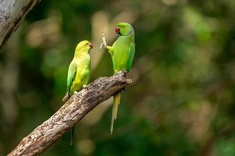 Papukaijat oksallaan Sri Lankassa.