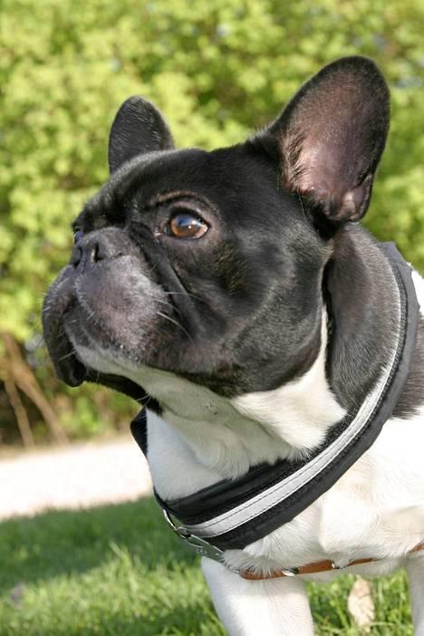 Ranskanbulldoggi Sulo.