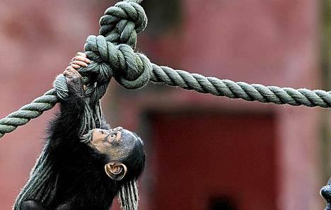 Simpanssi kiipeää köyttä pitkin aitauksessaan.
