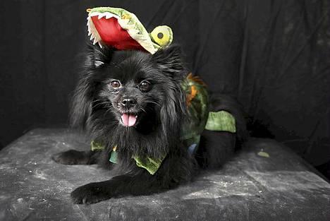 Pomeranian-rotuinen Peston on puettu lohikäärmeeksi.
