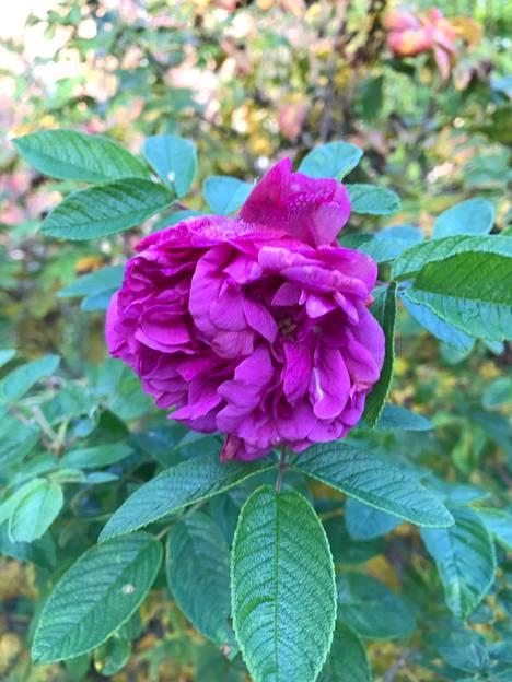 Ruusu kukkii Helsingin Tammisalossa.