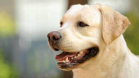 Labradorinnoutaja on tottelevainen ja lapsirakas.