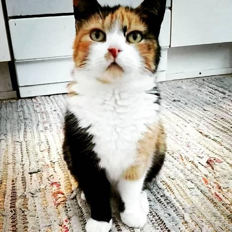 Omistajansa Tiina Pöyryn lenkki- ja päiväunikaveri Mikki-kissa menehtyi 14 vuoden kypsässä iässä. Kameran vieressä pidetty leikkele mahdollisti tämän kuvan ottamisen.