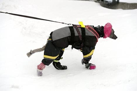 Koira ulkoilemassa asiallisella varustuksella lumimyräkässä Helsingissä.