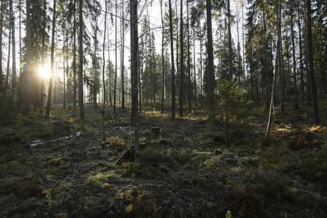 Harvennettua metsää Vanhan Turuntien länsipuolella Espoon Karakalliossa.