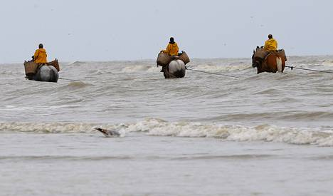 Belgialaiset kalastajat pyytävät äyriäisiä vetämällä verkkoa hevosilla laskuveden aikaan.