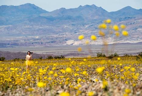 Geraea canescens -lajin auringonkukkia kasvaa aavikkomaastossa.