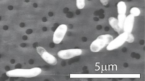 Myrkkyjärven pohjasta löydetty pieneliö käyttää elintoimintoihinsa järven arseenia fosforin sijasta.