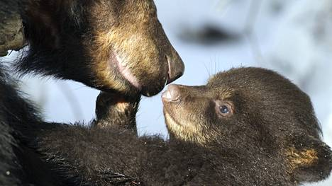 Kokenut karhuemo hellii pentujaan varmoin ottein uudessa luontosarjassa.