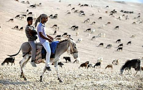 Vuohipaimen. Palestiinalainen Jahalin-heimoon kuuluva beduiini ratsastaa aasilla ja paimentaa vuohia Länsirannalla lähellä Malle Adumimia Israelissa.