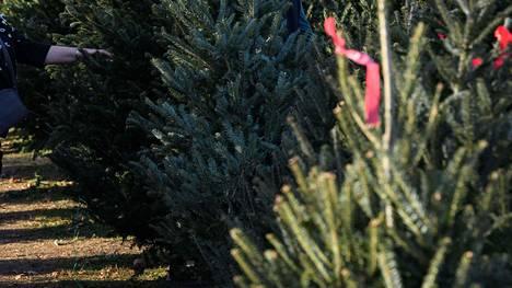 Kun joulukuusen hoitaa alusta asti oikein, se kestää pidempään.