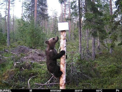 Karhunpentu yrittää päästä suolakiven makuun Jouni Piiraisen otoksessa.