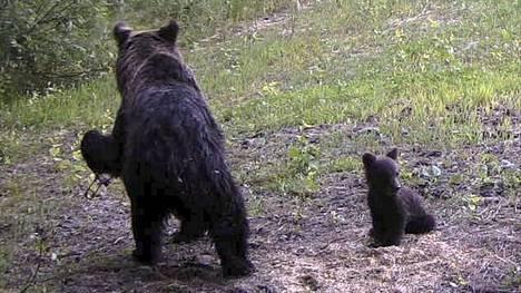 Karhuemolla on pieneläinrauta vasemmassa etukäpälässään.