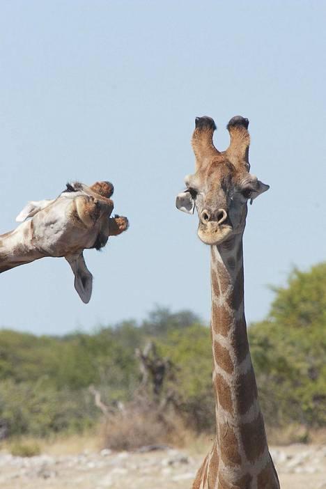 Kirahvit Namibiassa.