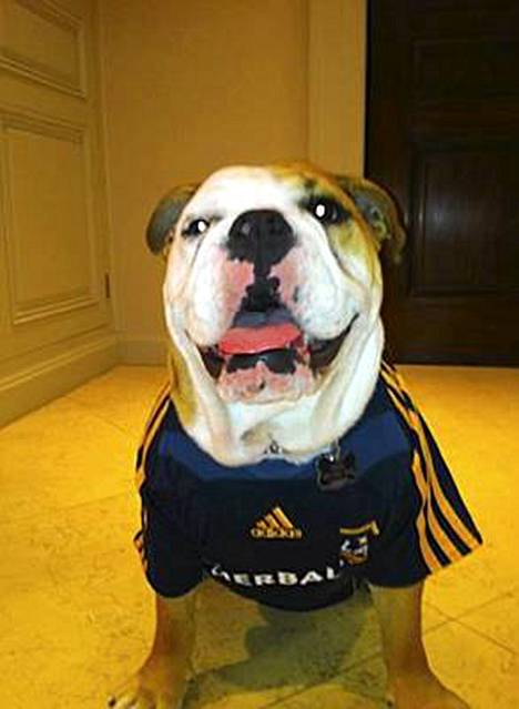 Victoria Beckham julkaisi Twitterissä kuvan Coco-koirasta LA Galaxy -jalkapallojoukkueen pelipaitaan puettuna.