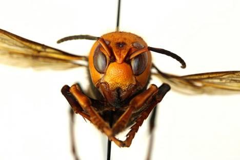Kiinanherhiläinen hyökkää ihmisten ja eläinten kimppuun tuntiessaan itsensä uhatuksi.
