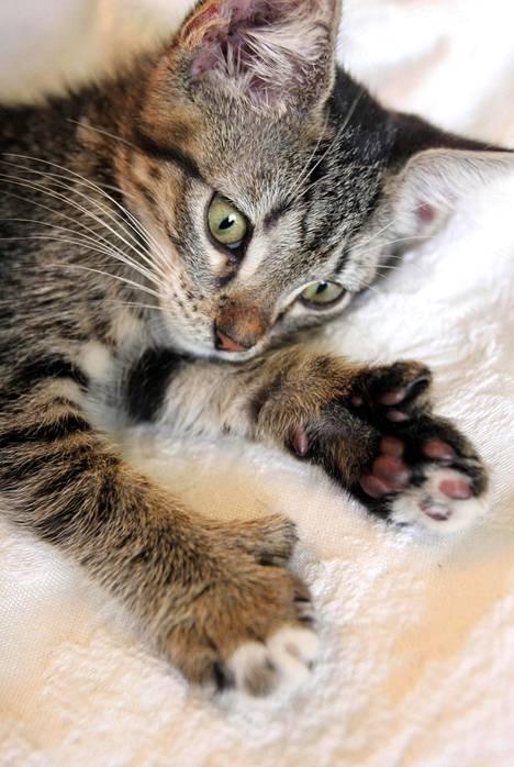 Kissoja, joilla on normaalia enemmän varpaita sanotaan joskus Hemingwayn kissaksi.