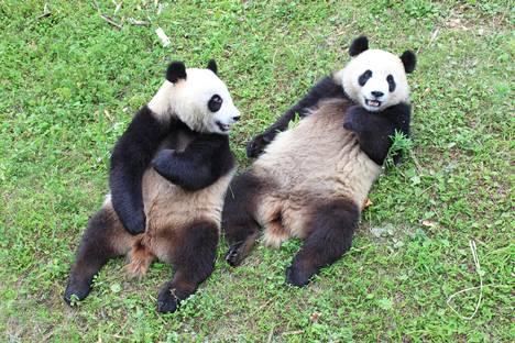 Kiina lahjoittaa Suomelle pandapariskunnan.
