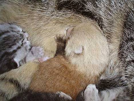 Hollantilainen eläintarha antoi kultapandan poikasen kissan imetettäväksi sen jälkeen, kun pandan oma emo oli hylännyt poikasensa.