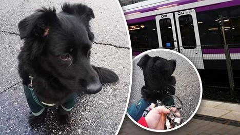 Sekarotuinen koira jäi junaan, kun omistaja, noin kolmekymppinen mies, jäi junasta Vantaan Martinlaaksossa sunnuntaina.
