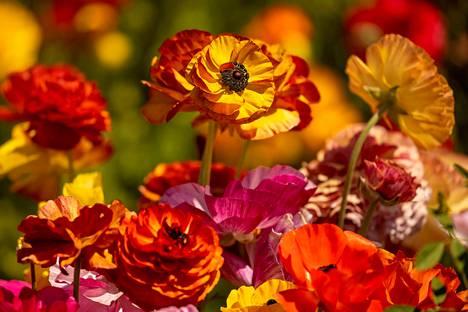 Kedoilla kasvaa yli 70 miljoonaa kukkaa.
