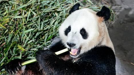 Ähtärin eläinpuistoon tuotiin tammikuussa 2018 Kiinasta kaksi pandakarhua, jotka houkuttelivat tuolloin runsaasti vierailijoita.