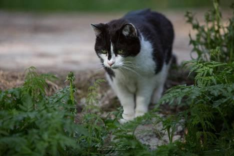 Mimmi-kissa joutui ilveksen uhriksi viime vuoden toukokuussa.