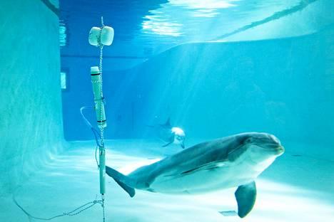Delfiinit toimivat koekaniineina Itämereen vedenalaisen pyöriäisten kuunteluverkoston testauksessa Särkänniemen delfinaariossa Tampereella vuonna 2011.