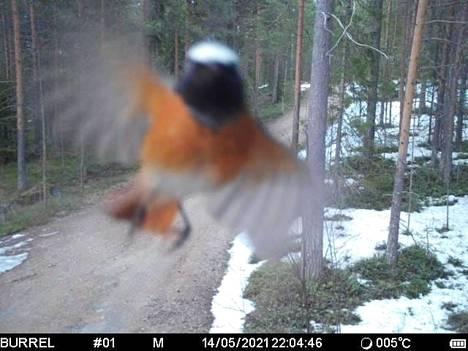 Mikko Moilasen riistakamerassa näkynyt lintu pysähtyi tervehtimään.