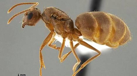 Nylanderia pubens -suvun kuningatarmuurahainen. Muurahaisen ihon pinnalla on tiheästi pieniä karvoja, minkä vuoksi sitä kutsutaan karvaiseksi muurahaiseksi.