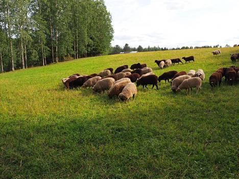 Yhteensä Iso-Junnolla on 260 karitsaa ja noin 140 täyskasvuista lammasta.