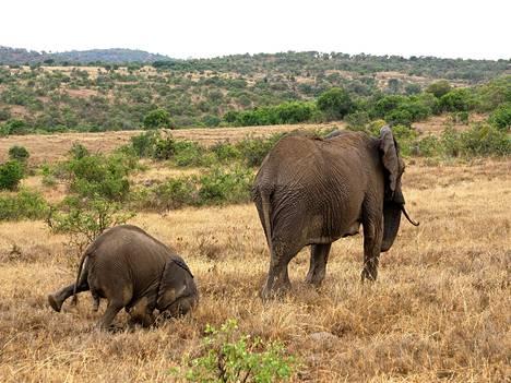 Elefantit marssivat, tai ainakin yrittävät. Namibia.