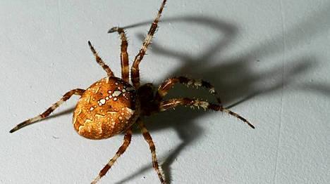 Palloristihämähäkki