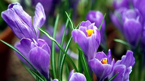 Krookukset kuuluvat niihin kevätkukkiin, jotka pyrkivät ensimmäisten joukossa ylös mullasta.