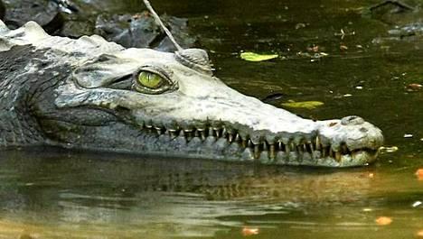 Australian krokotiilit ovat allapäin tulvien takia. Tämä uljas ja kenties nälkäinenkin vesilläliikkuja kuvattiin Costa Ricassa.