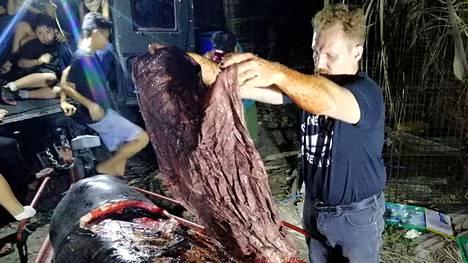 Darrell Blatchley nostaa valaan vatsasta muovijätettä.