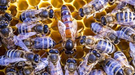 Mehiläiset ovat elintärkeä osa maailman ravinnontuotantoa, sillä ne pölyttävät valtaosan viljelykasveista.