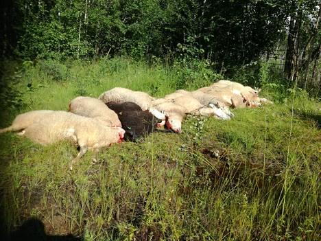 Kuolleita ja pahoin haavoittuneita lampaita on etsitty laidunalueelta lauantaista lähtien.