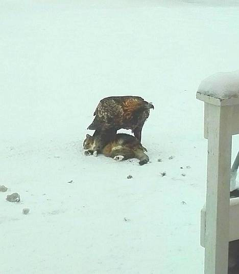 Tupsu-kissa jäi kotkan saaliiksi Ranualla.