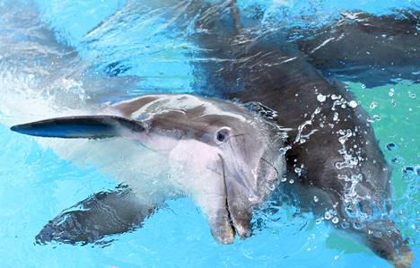 Särkänniemestä siirretyt delfiinit Delfi (vas.) ja Veera Ateenassa.