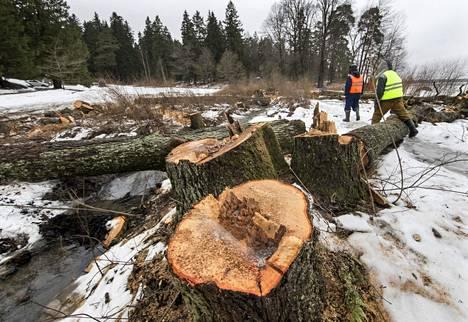 Puiden ytimeen noussut lahottajasieni on tuhonnut monia puita puistossa.